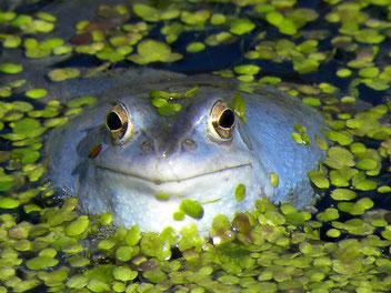 Moorfrosch in Stimmung - kurzzeitig leuchtend blau, Foto: T. Kirschey