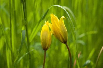 Liliaceae, Pflanzen für Schwangerschaft und Geburt, Globuli fürs Stillen