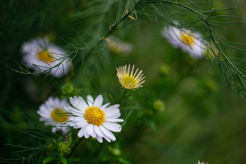 Chamomilla, Pflanzen bei Neurodermitis, Globuli bei Hautausschlägen, Dr. Claudia Wirz, Heilpraxis Heilbronn, Homöopathie, Hautarzt