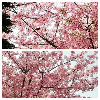 2019年の日本の桜です