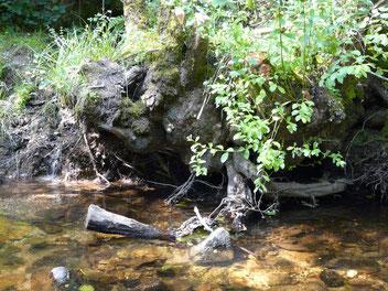 Une racine et une sous-berge, un abris idéal pour les poissons