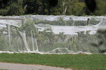 Vogelschutznetze sichern die Ernte