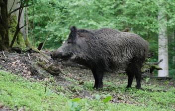 Wild aus dem Sauerland: Wildschwein, Wild zerlegen, Wildbret