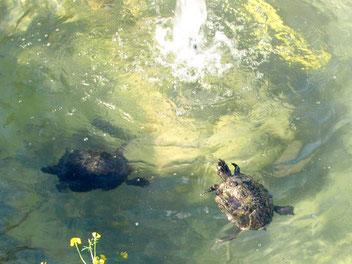 Schildkröten fühlen sich in den Teichen des Schnauzerl Hotels wohl