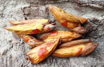 Pappelknospen Räuchern Sammeln Pappel Knospen Harz Pappelharz Wirkung Räucherwerk Räucherstoff Räucherpflanze Hexenmedizin Räucherlexikon