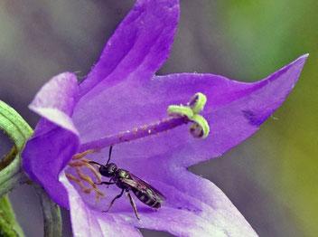 Furchenbiene, Gartenarbeitsschule