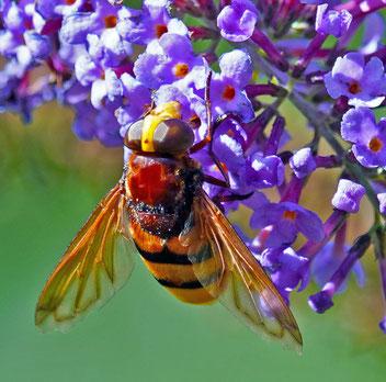 Hornissenschwebfliege, Gartenarbeitsschule