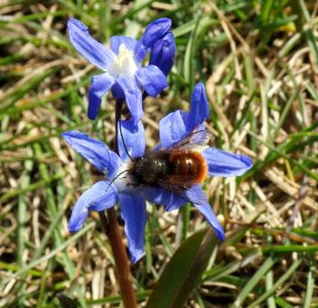 Sardes-Blaustern, Gartenarbeitsschule