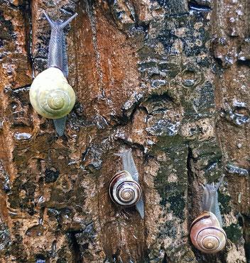 Hain-Bänderschnecke, Gartenarbeitsschule