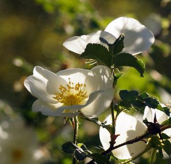 Bibernell-Rose, Gartenarbeitsschule