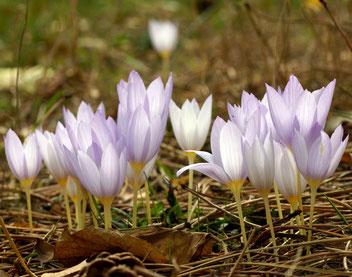 Ring-Herbst-Krokus, Gartenarbeitsschule