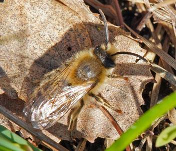 Frühlings-Seidenbiene, Gartenarbeitsschule