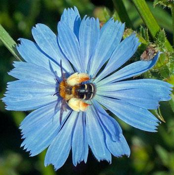 Wegwarten-Hosenbiene, Gartenarbeitsschule
