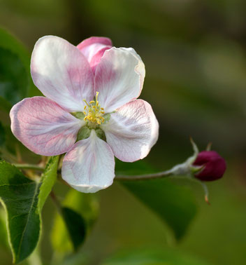 Apfelblüte, Gartenarbeitsschule