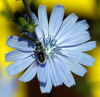 Stahlblaue Mauerbiene, Gartenarbeitsschule
