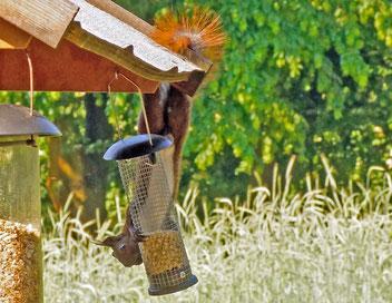 Eichhörnchen, Gartenarbeitsschule