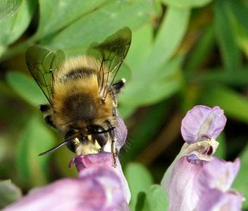 Frühlings-Pelzbiene, Gartenarbeitsschule