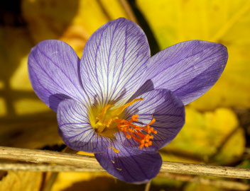 Pracht-Herbst-Krokus, Gartenarbeitsschule