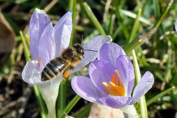 Honigbiene, Elfen-Krokus, Gartenarbeitsschule
