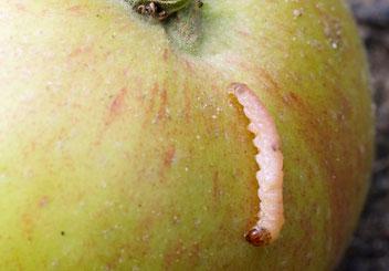 Apfelwickler, Gartenarbeitsschule