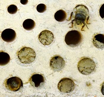 Mauerbiene, Gartenarbeitsschule