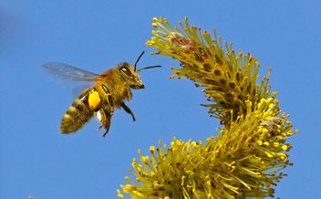 Honigbiene, Gartenarbeitsschule
