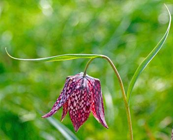 Schachbrettblume, Gartenarbeitsschule