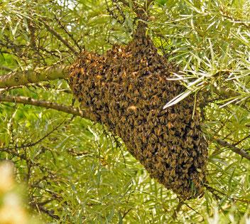 Bienenschwarm, Gartenarbeitsschule