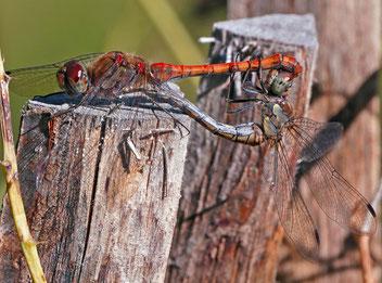 Paarungsrad Gemeine Heidelibelle