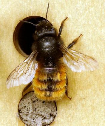 Gehörnte Mauerbiene, Gartenarbeitsschule