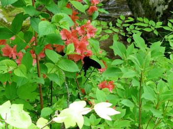 ベルベットの貴婦人。ヤマツツジで吸蜜中のオナガアゲハ。