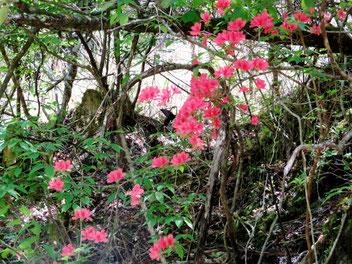 ヤマツツジで吸蜜するオナガアゲハ。