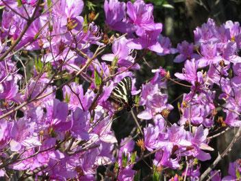 ミツバツツジで吸蜜中のギフチョウ。