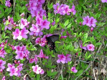 ミツバツツジで吸蜜中のジャコウアゲハ。
