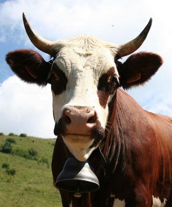 La tête d'un vache de la race Abondance