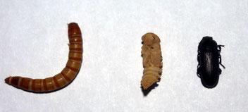 Entwicklungsstufen: Mehlwurm, Puppe & Käfer. Foto: Karsten