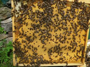 Bienenwabe mit Brut, Ableger zur verkaufen, Harzer Gebirksimkerei