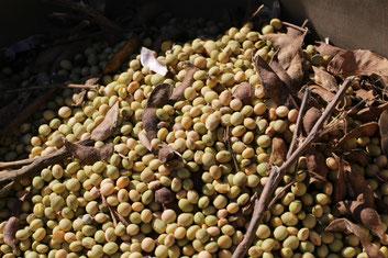 脱穀したばかりの大豆の写真