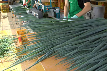 【アルファイノベーション・農業生産】青ネギ生産