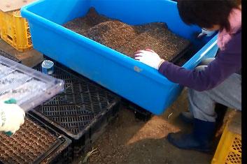 【アルファイノベーション】青ネギ生産