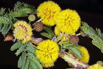 Albero della febbre - Fiori e foglie