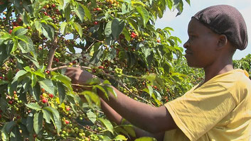 Coffee farm in Kiambu