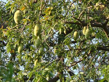 Frutto Adansonia digitata