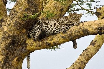 Leopardo su un Albero della febbre