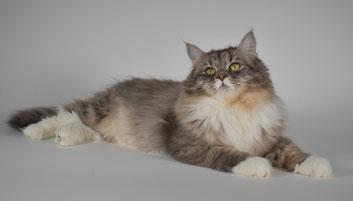 allevamento gatto siberiano