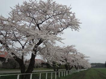 一本も風情あるけど桜並木もいいな~