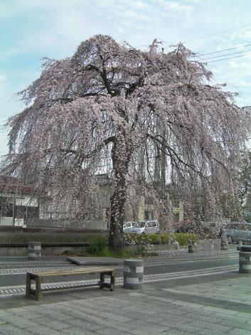 枝垂桜全体  全盲の杉浦さん撮影