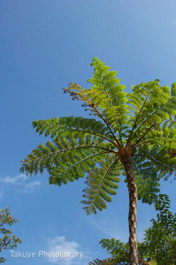ヒカゲヘゴ 沖縄の植物