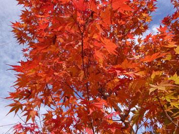 Acer palmatum (イロハモミジ) in autumun