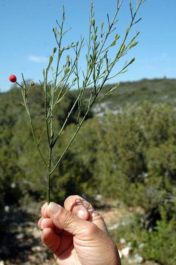 le rouvet ou osyris blanc vit en bordure des bois, parasitant des arbres dont il tire eau et sels minéraux. Ses fruits rouges sont réputés toxiques